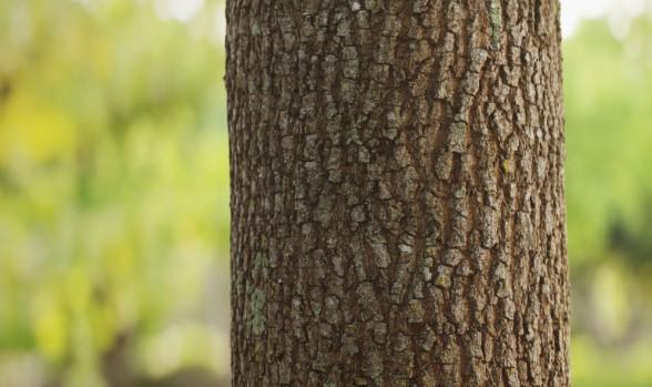 Drzewo sosnowe
